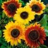 Соняшник декоративний: вирощування з насіння