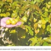 Підщепи-ментори - основа здорового саду, підбір підщеп для плодових культур