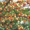 Пошук добірних форм абрикоса для умов магнітогорська