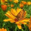 Корисні властивості календули і способи її вирощування