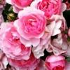 Поліантових троянди на ділянці, походження виду, роль в дизайні саду