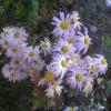 Полив хризантем, мої спостереження і досвід