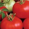 Помідор, який можна вирощувати на балконі - сорт томата «титан»: фото і загальний опис
