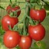 Помідор-малюк для дачників і міських жителів - опис: сорт томатів «невський»