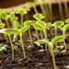 Як посіяти насіння томатів