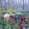 Допоможіть визначити якого сорту троянда?