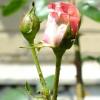 Допоможіть перемогти тлю на трояндах!