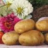 Популярний картопля «санте»: опис сорту, смакові якості, фото, характеристика