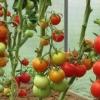 Популярний у садівників середньостиглий яскравий сорт томата - «яблучний спас»
