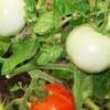 Порадує урожаєм навіть в несприятливих погодних умовах - томат «сніговий барс»: опис сорту
