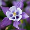 Посадка аквилегии і догляд за містичним квіткою