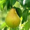 Посадка груші в осінній період