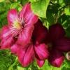 Посадка клематисів і догляд за квітами