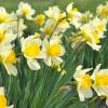 Посадка цибулин квітів - 6 важливих моментів