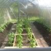 Посадка розсади перцю в теплицю з полікарбонату: коли садити і як підготувати?