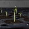 Покрокова інструкція по вирощуванню розсади баклажанів в домашніх умовах з фото кожного етапу