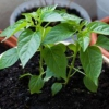 Покрокова інструкція по вирощуванню розсади перцю в домашніх умовах: правильна посадка насіння, догляд за молодими сходами, як загартувати і виростити хорошу розсаду
