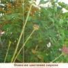 Повторне цвітіння садових рослин, причини повторного цвітіння і можливості усунення повторного цвітіння