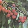 Підвищення врожайності черешні в умовах спільного виростання з вишнею