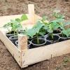 Правила та терміни висадки розсади огірків у відкритий грунт