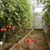 Правила посадки помідорів в парник розсадою