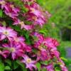 Правильна обрізка клематиса стимулює пишне цвітіння