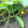 Правильне вирощування огірків у відкритому грунті