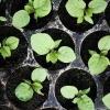 Правильний посів насіння перцю та баклажанів на розсаду: коли сіяти, як уникнути пікіровки, як поливати і доглядати за розсадою