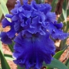 Причини відсутності цвітіння у ірисів