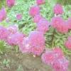 Причини відсутності цвітіння у півоній