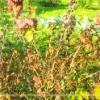 Причини всихання кущів чорної смородини