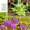 Примула, або первоцвіт, баранчик в дизайні саду, види примул