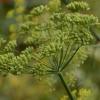 Пряна рослина фенхель
