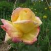 Про троянди - примхливі або витривалі