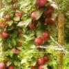 Проблеми колонновидних яблунь, шляхи їх подолання