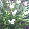 Птіцемлечнік: мої секрети по догляду за квіткою