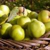 Районовані сорти яблуні для ленінградської області, характеристики сортів