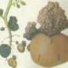 Рак картоплі, заходи боротьби та профілактики хвороби
