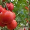 Ранньостиглий томат «самара»: опис сорту і фото