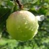 Ранні сорти яблуні, їх характеристики
