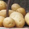 Ранній урожай для мудрих городників - картопля «минерва»: опис сорту і фото