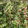 Розрахунок економічної ефективності саду або деякі способи боротьби з періодичністю плодоношення