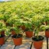 Розсада помідор для теплиці: коли садити і як правильно вирощувати