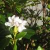 Рододендрон цвіте 2 раз у вересні, це аномалія?