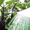 Розглянемо як поливати розсаду баклажанів: правильна вода і частота поливу, особливості режиму після пікіровки і пересадки, корисні поради