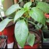 «Рости велика, не маленька», стимулятори росту для розсади перцю