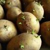 Різні способи пророщування картоплі