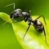 Розмноження та стадії розвитку мурах