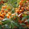 Розмноження обліпихи насіннєвим і вегетативним способом