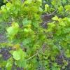 Розмноження винограду відводами